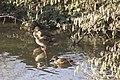 Canards colverts (Anas platyrhynchos) femelle - 6271.jpg