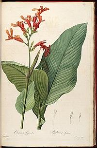 Canna tuerckheimii (C. gigantea) Liliac. 6. 331. 1811