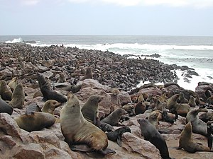Cape Fur Seals Cape Cross.jpg