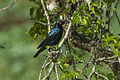 Cape Glossy-Starling - Natal - South Africa S4E8574 (22382981857).jpg