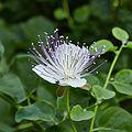 Capparis spinosa-IMG 9417.jpg