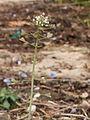 Capsella bursa-pastoris 007.JPG