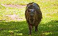 Capybara, Esteros Del Ibera, Corrientes, Argentina, 2nd. Jan. 2011 - Flickr - PhillipC (1).jpg