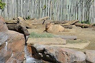 Happy Hollow Park & Zoo - Image: Capybara at Happy Hollow Park & Zoo