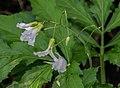 Cardamine heptaphylla 01.jpg