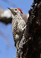 Cardinal Woodpecker - MALE, Dendropicos fuscescens at Pilanesberg National Park, Northwest Province, South Africa (14905416437).jpg