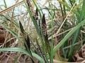 Carex acuta inflorescense (2).jpg
