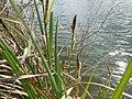 Carex acutiformis inflorescens (25).jpg