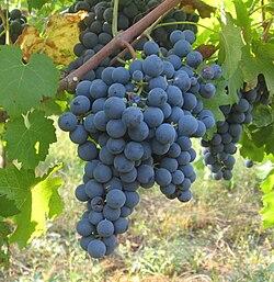 Winogrona carménère  - winne szczepy - lubimywino.pl