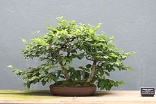 Carpinus japonica bonsai at the BBG, August 2, 2008.jpg