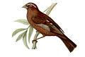 Carpodacus vinaceus male.jpg