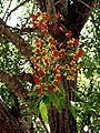 Cassia brewsteri.jpg