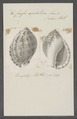 Cassis achatina - - Print - Iconographia Zoologica - Special Collections University of Amsterdam - UBAINV0274 084 08 0021.tif