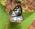 Castalius rosimon - Common Pierrot on the hostplant Ziziphus oenoplia - Jackal Jujube 11.JPG