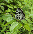Castalius rosimon - Common Pierrot on the hostplant Ziziphus oenoplia - Jackal Jujube 30.JPG