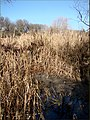 Cat Tail Bog, Oak Glen, CA 1-19-13a (8500596003).jpg