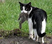 Cat eating a rabbit