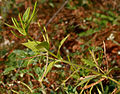 Catharanthus pusillus (Tiny Periwinkle) W IMG 3051.jpg