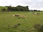 File:Cattle on the Wye meadows. - geograph.org.uk - 564647.jpg