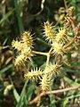 Caucalis platycarpos subsp. platycarpos sl34.jpg