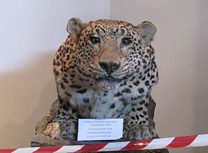 Persian leopard - A Caucasus leopard taxidermy in the Georgian National Museum, Tbilisi