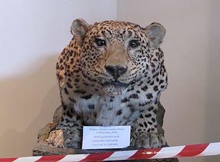 Anatolian leopard Leopard subspecies