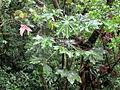 Cecropia obtusifolia (11033700934).jpg