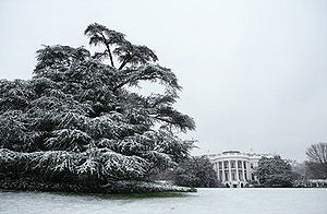 South Lawn (White House) - Snow on the Atlas Cedar (Cedrus atlantica) on the South Lawn
