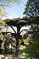Ceder in the garden - panoramio.jpg