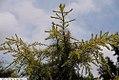 Cedrus atlantica Aurea 2zz.jpg