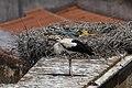 Cegonha Branca ( Ciconia ciconia ) 20 (48309346377).jpg