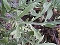 Centaurea kunkelii (hoja).jpg