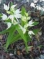 Cephalanthera longifolia Habitus 28Mach2009 SierraMadrona.jpg