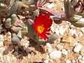 Cephalophyllum alstonii PICT2701.jpg
