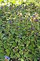 Ceratostigma plumbaginoides - plants (aka).jpg