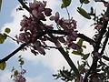 Cercis siliquastrum flowers1.jpg