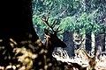 Cervo - Paneveggio.jpg