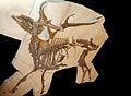 Cervus fossil.jpg