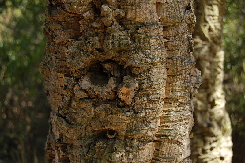l'ecorce du chêne liège