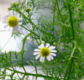 Chamomile Flowers 2.png