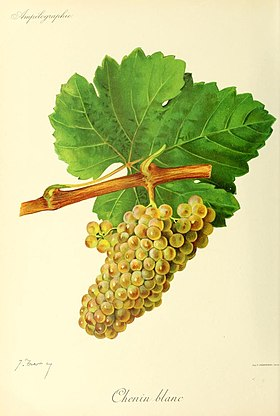 Illustration de Chenin B