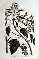 Chenopodium rubrum — Flora Batava — Volume v1.jpg
