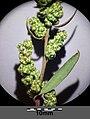 Chenopodium strictum sl18.jpg