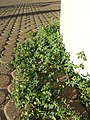 Chenopodium vulvaria sl32.jpg