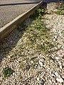 Chenopodium vulvaria sl54.jpg