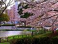 CherryBlossomsUkimaPark.jpg