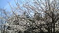 Cherry Brossom,Oura-town,Gunma Pref.,Japan - panoramio - Kanedaka Shiho.jpg