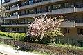 Cherry blossoms @ Petite Ceinture du 15eme @ Paris (33918005116).jpg