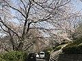 Cherry blossoms in Sasayama Park 4.jpg