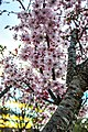 Cherry blossoms on the Washington Monument grounds (8a1323a1-ac5b-4458-a9b2-a9a104b0a1f7).jpg